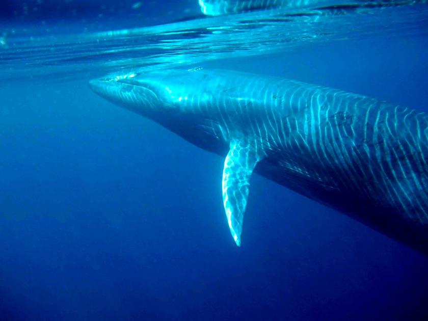 Bryde´s_whale.jpg